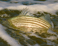 Striped Bass - Surf Fishing